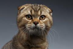 Close-upportret van Schotse Vouwen Cat Looking in camera op Grijs stock afbeelding