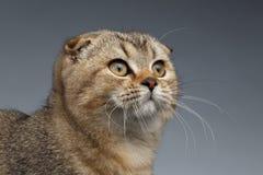 Close-upportret van Schotse Vouwen Cat Looking omhoog op Grijs royalty-vrije stock foto