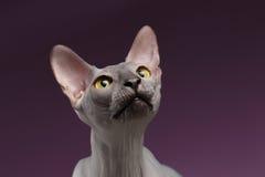 Close-upportret van Sphynx Cat Raising op Hoofd op purple stock afbeeldingen