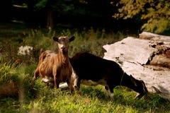 Close-upportret van twee geiten, buitenbinnenplaats Stock Afbeelding