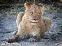 Close-upportret van vrouwelijke leeuw die bij zandig strand van Chobe-Rivier na ochtendjacht leggen, Chobe NP, Botswana, Afrika royalty-vrije stock foto's