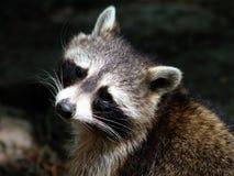 Close-upportret van wasbeer met `-bandieten` s masker ` stock afbeeldingen