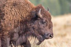 Close-upportret van wilde bizon stock afbeeldingen