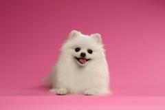 Close-upportret van Witte Spitz Hond op Gekleurde Achtergrond Stock Foto's