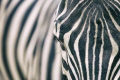 Close-upportret van zebra stock afbeelding