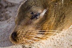 Close-upportret van zeeleeuw het ontspannen in een strand Stock Afbeeldingen
