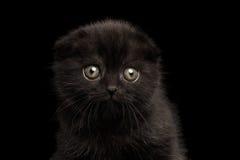 Close-upportret van Zwarte Schotse Vouwen in camera Geïsoleerde Kitten Looking royalty-vrije stock afbeelding