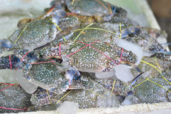 Close-ups blue crab on iced. At market for cooking Royalty Free Stock Photos