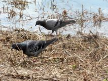 Two wild pidgeons foraging near water. Close-ups shot of two wild Pigeons foraging for food near the edge of a small body of water in nature Stock Photo