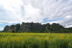 Close-ups van de gele achtergrond van bloemencrotalaria Stock Afbeelding