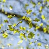 Close-upschot van een tak met jonge bladeren Stock Afbeelding
