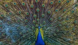 Close-upschot van gepuft peafowl royalty-vrije stock foto's