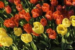 Close-upschot van mooie rode en gele gekleurde tulpen Royalty-vrije Stock Foto's