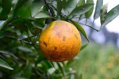 Close-upsinaasappelen die boom hangen Stock Afbeelding