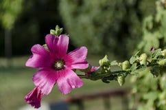 Close-upstokroos of Alcea-rosea roze bloem met bij op tuin Stock Foto's