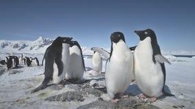 Close-upstrijd van twee pinguïnen Het schot van Antarctica stock videobeelden