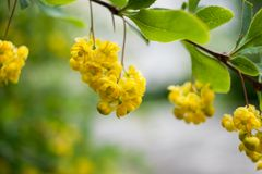 Close-uptak met groene bladeren en hangende gele bloemen en Royalty-vrije Stock Foto's