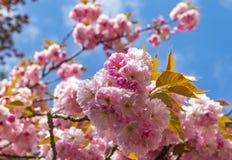 Close-uptak van tot bloei komende roze sakuraboom Stock Afbeelding