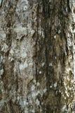 Close-uptextuur van droge gebarsten oude boomschors van rijpe boombedelaars Stock Afbeelding