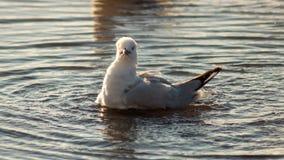 Close-upzeemeeuw in Meer het zwemmen royalty-vrije stock fotografie