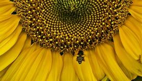 Close-upzonnebloem en de bij die verzamelen stuifmeel de vliegen stock foto