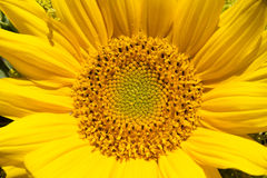Close-upzonnebloem Horizontaal oriënteer Groen concept Royalty-vrije Stock Afbeeldingen