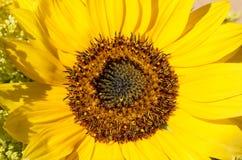 Close-upzonnebloem Horizontaal oriënteer Groen concept Stock Foto