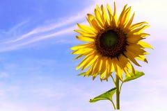 Close-upzonnebloem onder het effect van de zonlichtgloed Stock Foto