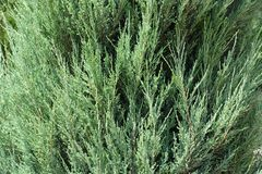 Free Close Vies Of Foliage Of Juniperus Virginiana `Blue Arrow` Royalty Free Stock Photo - 165812495