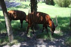 Bongo. Close view of an African bongo antelope stock photos
