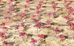 Close view of all red leas, Chinese spinach Stock Photos