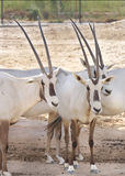 Close view of Arabian Oryx Royalty Free Stock Image