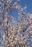 Almond tree bloom. Close view of the beautiful flowers of almond trees Stock Photography