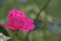 Close view of a beautiful pink rose stock images