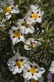 Cistus ladanifer flowers Royalty Free Stock Photo
