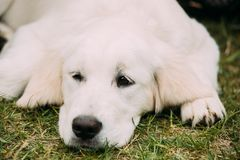 Close View Of Beautiful White Dog Labrador Puppy Whelp Lying In Green Grass.  Royalty Free Stock Photo