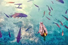 Duck and a big fishes in a water. Close view of a  black duck and a big fishes in a water Stock Image