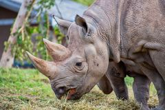 Close view of a black rhino head. Showing two horns stock images