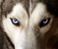 Close view of blue eyes of an Husky. Or Eskimo dog stock image
