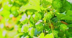 Green fresh hop cones on branch. Ingredients of making beer and bread. The close view of branch with hop cones. Fresh and green cones. Ecological natural beer stock video