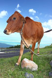 Close view of a brown cow. Image of a brown cow against a blue sky backdrop with flies buzzing around royalty free stock photos