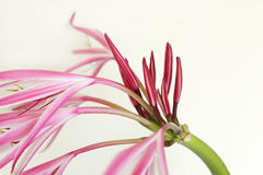 Close view of buds flowers of Giant spider lily Royalty Free Stock Photo