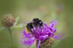 Close view of a bumblebee. Sucking nectar on a red clover Royalty Free Stock Photo
