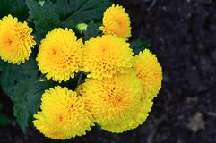 Yellow African Marigold, Pune. Close view of bunch of Yellow African Marigold, Pune Stock Photo