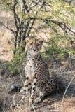 Close view of a cheetah resting and boring at cheetahs farm Royalty Free Stock Photo