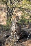 Close view of a cheetah resting and boring at cheetahs farm Royalty Free Stock Images