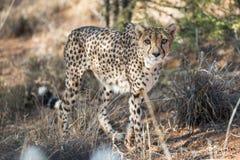 Close view of a cheetah in savanna woodlands of cheetahs farm Royalty Free Stock Photo