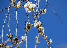 Cherry flower in bloom royalty free stock images