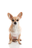 Close view chihuahua. Close view of chihuahua sitting on  white background Stock Images