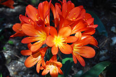 Close view of clivia orange flowers, Spain. Close view of clivia orange flowers Royalty Free Stock Image
